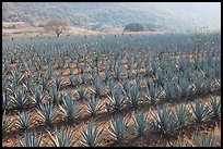 Field of agaves near Tequila. Mexico ( color)