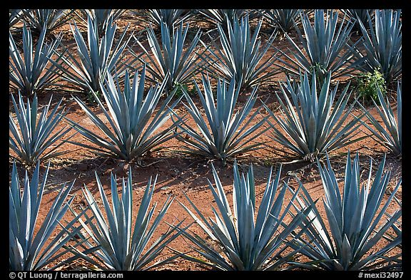 Rows of  blue agaves near Tequila. Mexico (color)