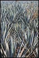 Dense rows of blue agaves. Mexico ( color)
