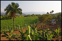 Rural scene with banana trees, palm tree, horses, and  field. Mexico ( color)
