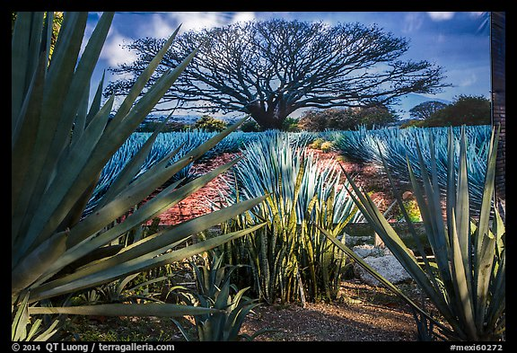 Blue agaves and pictures of agave landscape. Cozumel Island, Mexico (color)