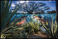 Blue agaves and pictures of agave landscape. Cozumel Island, Mexico