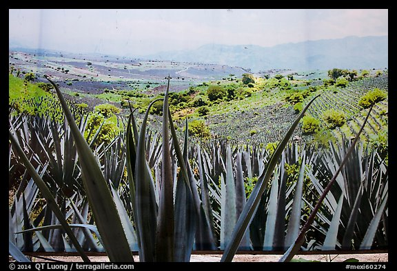 Agaves and pictures of landscape, tequilla factory. Cozumel Island, Mexico (color)