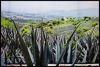 Agaves and pictures of landscape, tequilla factory. Cozumel Island, Mexico