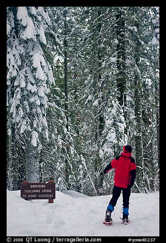 Hiker on snowshoes entering Tuolumne Grove in winter. Yosemite National Park, California (color)