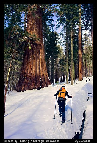 Backcountry skier at the base of Giant Sequoia trees, Mariposa Grove. Yosemite National Park, California (color)
