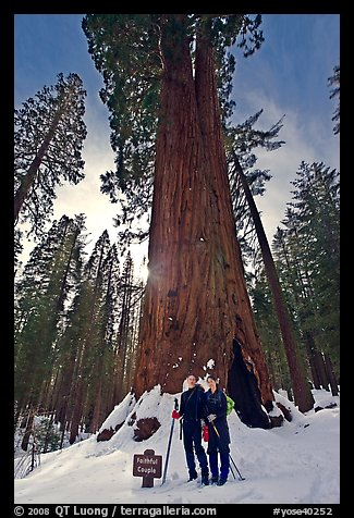 Skiers at the base of tree named Faithful couple tree in winter. Yosemite National Park, California (color)