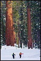 Cross-country  skiiers at the base of Giant Sequoia trees in Upper Mariposa Grove. Yosemite National Park, California (color)