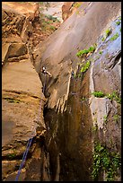 Canyoneer rappels along rock wall, Mystery Canyon. Zion National Park, Utah ( color)
