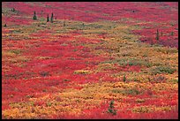 Tundra in fall colors near Savage River. Denali National Park, Alaska, USA.