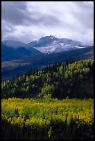 Aspens in yellow  fall colors and Panorama Range, Riley Creek drainage. Denali National Park, Alaska, USA. (color)