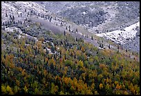 Hillside with Aspens in fall colors and fresh snow. Denali National Park, Alaska, USA. (color)