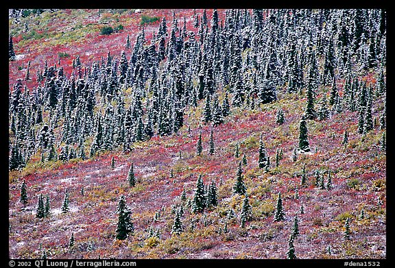 Spruce trees and tundra covered by fresh snow, near Savage River. Denali National Park (color)