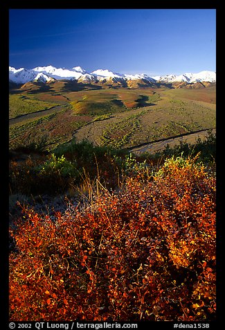 Berry plants, braided rivers, Alaska Range in early morning from Polychrome Pass. Denali National Park (color)