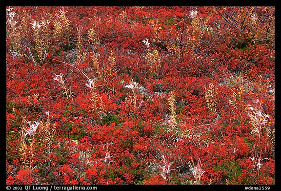 Dwarf tundra plants in autumn. Denali National Park (color)