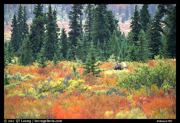 Bull Moose in boreal forest. Denali National Park (color)