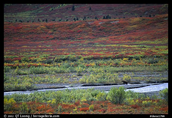 Grizzly bear on distant river bar in tundra. Denali National Park (color)