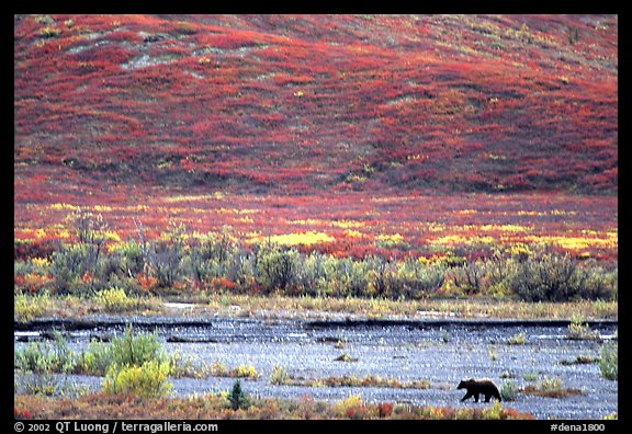 Grizzly bear on river bar. Denali National Park (color)