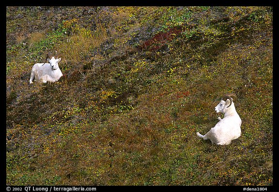 Two Dall sheep. Denali National Park (color)