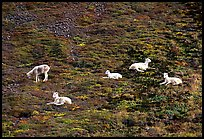 Group of Dall sheep. Denali National Park ( color)