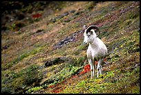 Dall sheep standing on hillside. Denali National Park, Alaska, USA.