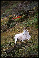 Dall sheep laying on hillside. Denali National Park, Alaska, USA. (color)
