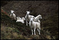 Group of Dall sheep. Denali National Park, Alaska, USA. (color)
