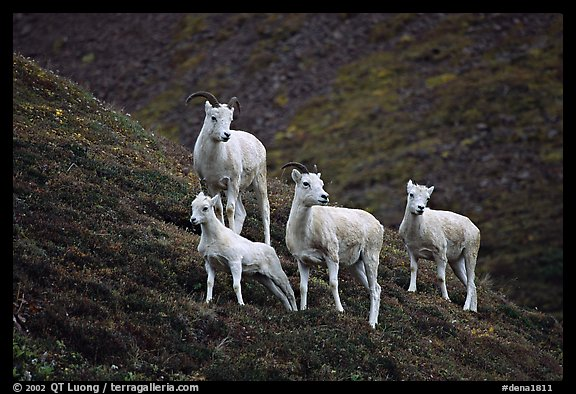 Group of Dall sheep. Denali National Park (color)
