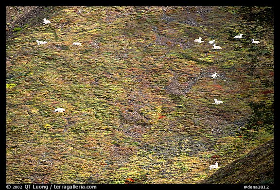 Distant view of Dall sheep on hillside. Denali National Park (color)