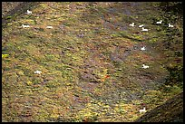Distant view of Dall sheep on hillside. Denali National Park, Alaska, USA. (color)