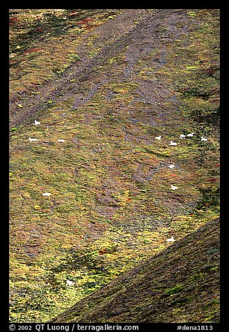 Hillside with many distant  Dall sheep. Denali National Park (color)