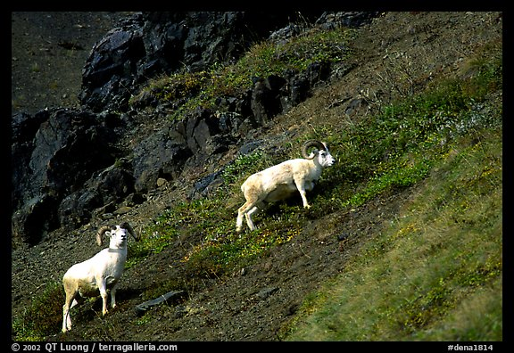 Two Dall sheep climbing on hillside. Denali National Park (color)