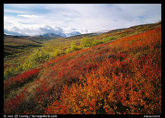 Red bushes on hillside, and cloud-capped mountains. Denali National Park (color)