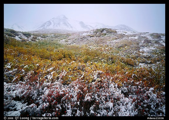 Fresh dusting of snow on autumn brush mountains in fog. Denali National Park (color)
