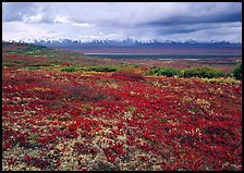 Red tundra flat and Alaska Range in the distance. Denali  National Park ( color)