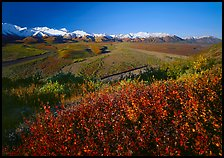 Berry plants, wide valley and gravel bars from seen from above, morning. Denali National Park, Alaska, USA. (color)