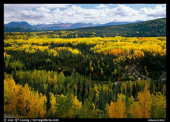 Yellow aspens and Panorama Range, Riley Creek drainage. Denali National Park (color)