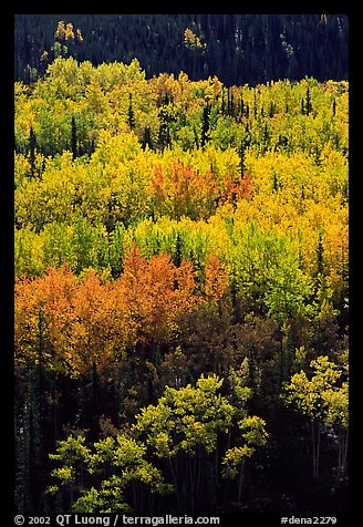 Aspens in yellow fall foliage amongst conifers, Riley Creek drainage. Denali National Park (color)