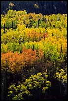 Aspens in yellow fall foliage amongst conifers, Riley Creek drainage. Denali National Park, Alaska, USA. (color)