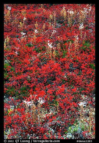 Dwarf tundra plants with red fall colors. Denali National Park (color)