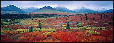 Mountain landscape with crimson tundra. Denali National Park (Panoramic color)