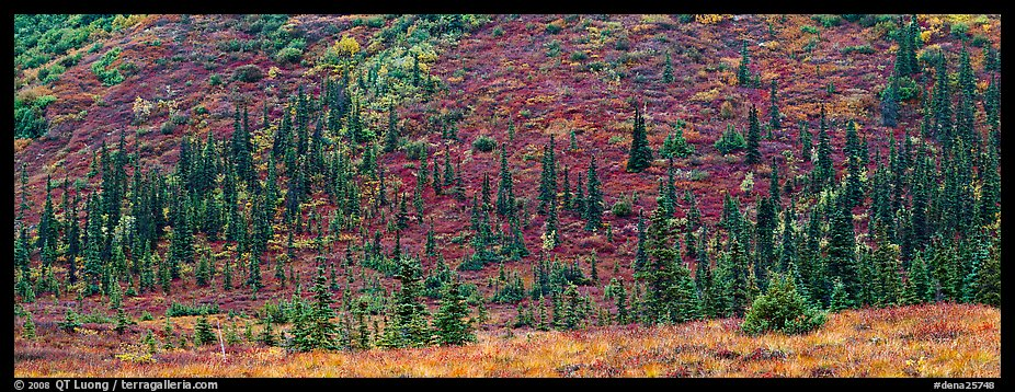 Autumn boreal forest and tundra on slope. Denali  National Park (color)