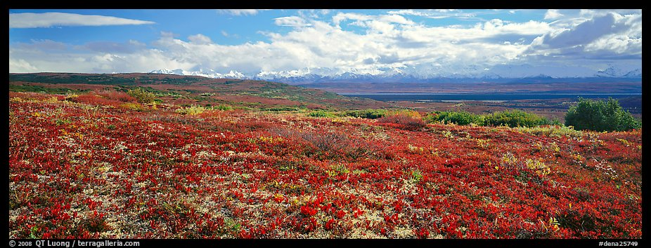 Carpet of berry plants in autumn with distant Alaska Range. Denali  National Park (color)