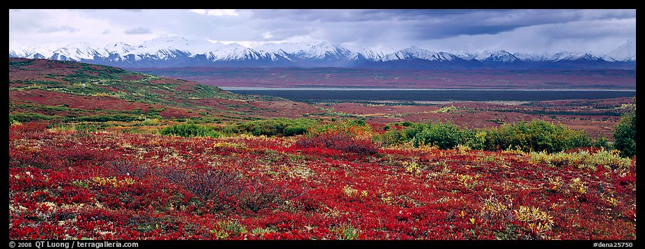 Tundra landscape with red berry plants and Alaskan mountains. Denali National Park (color)
