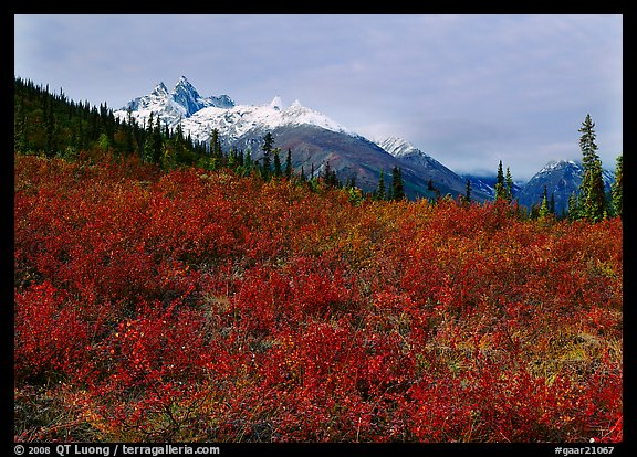 Red tundra shrubs and Arrigetch Peaks in the distance. Gates of the Arctic National Park (color)