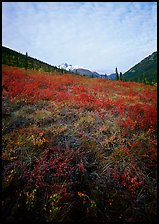 Tundra tussocks and Arrigetch Peaks in the distance. Gates of the Arctic National Park, Alaska, USA. (color)