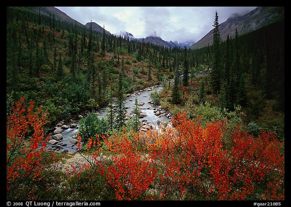 Bright berry leaves, boreal forest, Arrigetch Creek. Gates of the Arctic National Park (color)