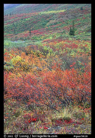 Tundra on mountain side in autumn. Gates of the Arctic National Park (color)