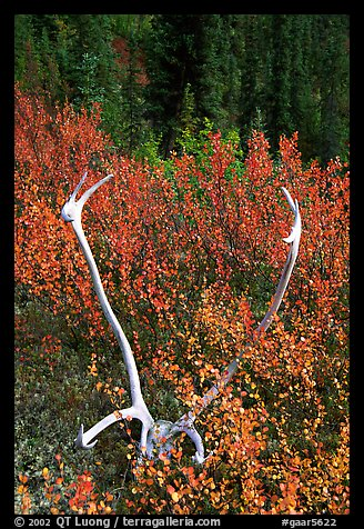 Caribou antlers. Gates of the Arctic National Park (color)