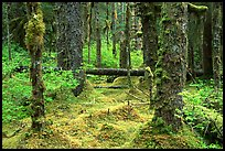Mosses and trees in rainforest, Bartlett Cove. Glacier Bay National Park, Alaska, USA. (color)